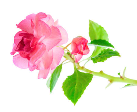 lizzie: blooming twig of pink Impatiens flowers  is isolated on white background, closeup