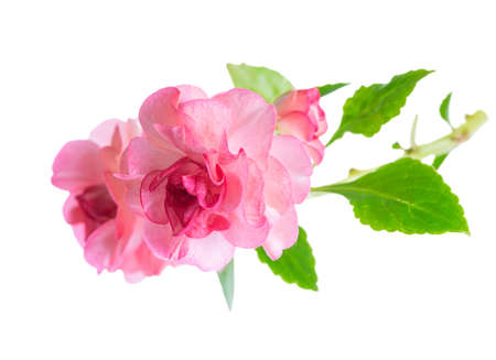 blooming beautiful twig of pink Impatiens flowers is isolated on white background, closeup