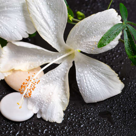 Beautiful spa concept of white hibiscus, twig passionflower, stones with drops on black background, closeup photo