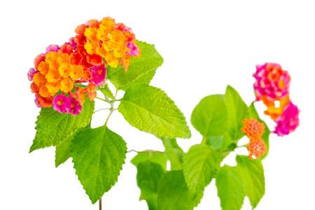 beautiful colorful Lantana camara flowers isolated on white background, closeup 免版税图像