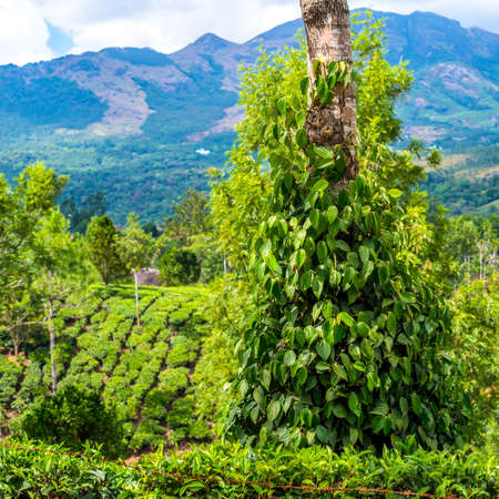 Fresh green leaves pepper (Piper Nigrum) growing on the tree tea plantation in India, Kerala