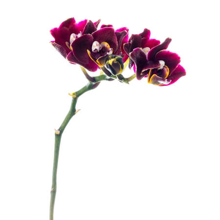 fuchsias: Blooming twig of dark-cherry orchid, phalaenopsis is isolated on white background