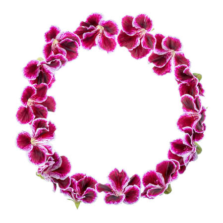 round: circle frame of blooming velvet purple geranium flower is isolated on white background. Royal Pelargonium