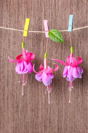 flores fucsia: flores fucsias entrega en cuerda con pinza de la ropa de colores sobre fondo de madera, de cerca