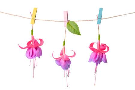 flores fucsia: rosa y morado flores fucsias entrega en cuerda con broche está aislado en el fondo blanco, de cerca Foto de archivo