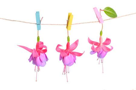 flores fucsia: flores fucsias entrega en cuerda con pinza de la ropa es aislado en blanco, de cerca