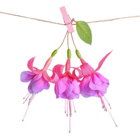 flores fucsia: flores fucsias entrega en cuerda con pinza de la ropa está aislado en el fondo blanco, de cerca Foto de archivo