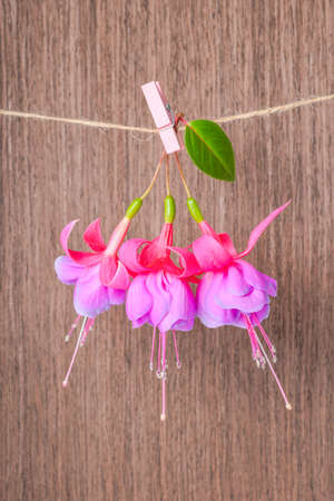 flores fucsia: flores fucsias entrega en cuerda con pinza de ropa sobre fondo de madera, de cerca Foto de archivo