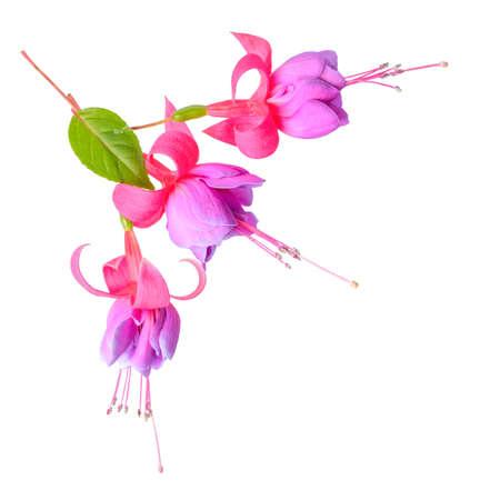 flores fucsia: cabeza de flores fucsias encuentra aislado en fondo blanco, `Tennessee Walts` Foto de archivo