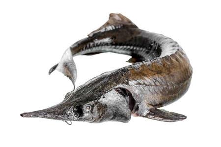 sturgeon: fresh raw sturgeon fish is isolated on white background, closeup