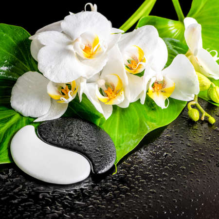 spa concept of white orchid flower, phalaenopsis, green leaf with dew and Yin-Yang of stone texture on black background, closeup