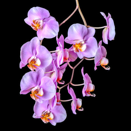 beautiful blooming twig of purple orchid phalaenopsis is isolated on black background, closeup photo