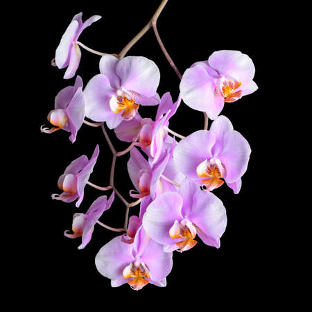 Blooming twig of purple orchid phalaenopsis is isolated on black background, closeup photo