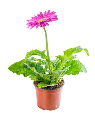 plant in pot: beautiful blooming pink flower gerbera in flowerpot is isolated on white background, closeup