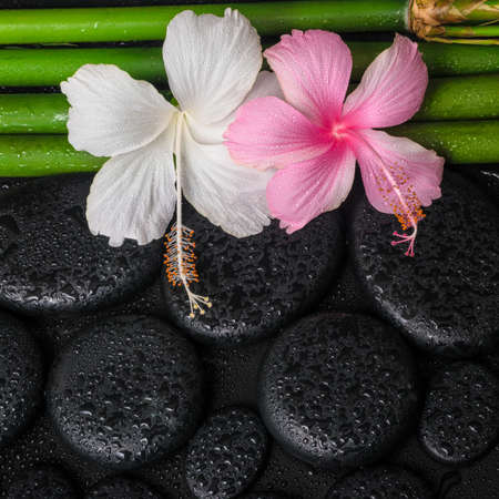 still water: spa still life of white, pink hibiscus flowers and natural bamboo on zen basalt stones with drops, closeup Stock Photo