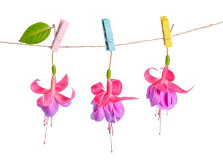 flores fucsia: flores fucsias entrega en cuerda con pinza de la ropa de colores está aislado en el fondo blanco, de cerca