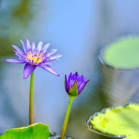 lotiform: beautiful lilac waterlily or lotus flower in blue water, closeup Stock Photo
