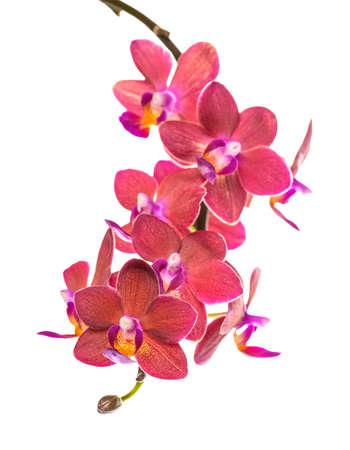 bloeiende tak van mooie rode orchidee wordt phalaenopsis geïsoleerd op een witte achtergrond, close-up Stockfoto
