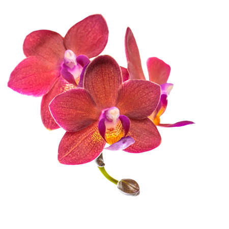 fuchsias: blooming twig of beautiful red orchid, phalaenopsis is isolated on white background, closeup