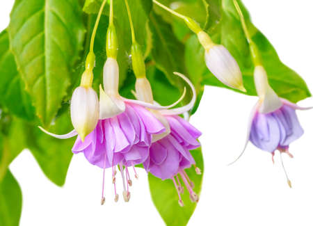 pompous: blooming beautiful twig of purple and white fuchsia flower is isolated on white background, `Holly`s Beauty`, closeup