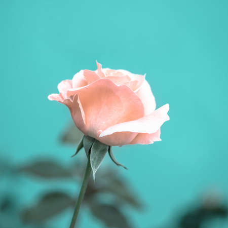 beautiful romantic pink rose flower on toned green blur background, vintage style, closeup Stock Photo