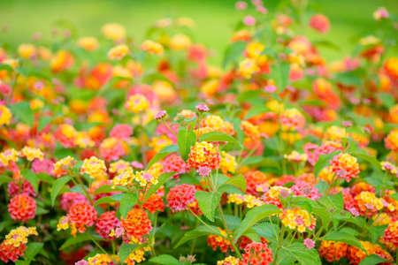 lantana camara: beautiful blooming Lantana camara, blur flowers background, closeup Stock Photo