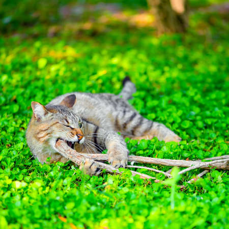 ludicrous: funny cat gnaws branch on green grass, closeup