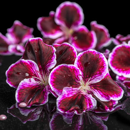 reflection of life: beautiful spa still life of geranium flower, beads and black zen stones with drops in reflection water, closeup