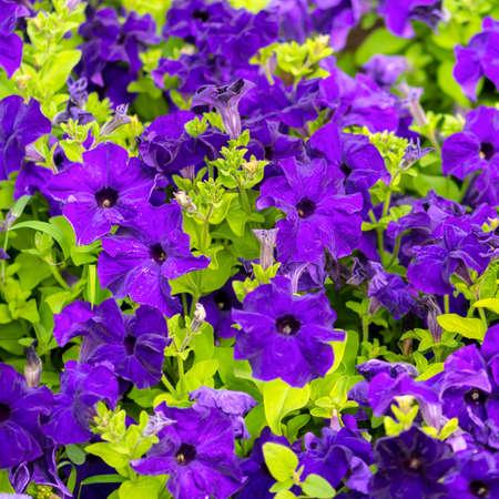 blooming purple: beautiful blooming purple petunia flowers background, closeup