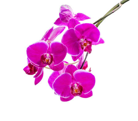 fuchsias: blooming branch of dark violet orchid with white bandlet orchid, phalaenopsis is isolated on white background, closeup