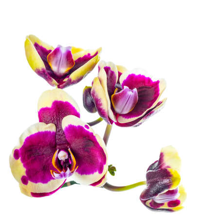 fuchsias: blooming branch of dark purple with yellow rim orchid, phalaenopsis is isolated on white background, closeup
