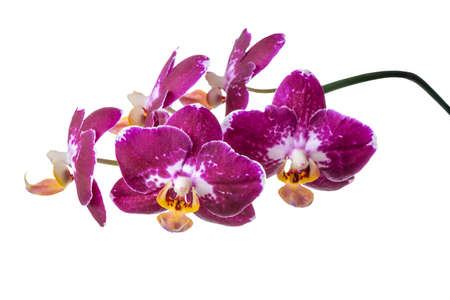 fuchsias: blooming branch of dark purple with white orchid, phalaenopsis is isolated on white background, closeup