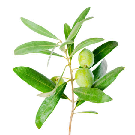 olive green: silver green branch of olive tree with berries , isolated on white background Stock Photo