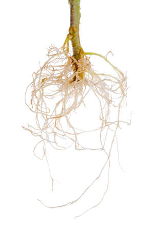 tomato plant exposed roots is isolated on white background 免版税图像