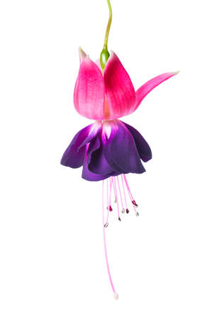 pedicel: blooming beautiful single flower of violet and red fuchsia is isolated on white background, `Voodoo`, closeup Stock Photo