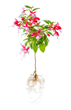 blooming beautiful stam tree of red and white fuchsia flower with roots is isolated on white background, `Shadow Dancer Betty`, closeup
