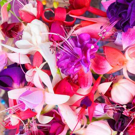 flores fucsia: coloridas flores fucsia como fondo, tarjeta para diseños de primavera o verano, de cerca