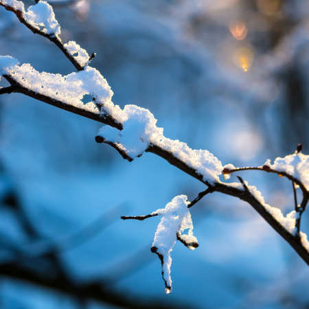 snow drop: beautiful covered Christmas branch with snow and drops in sunset winter forest Stock Photo