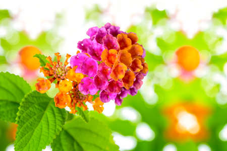 lantana camara: beautiful colorful Lantana camara flower on blur background, closeup