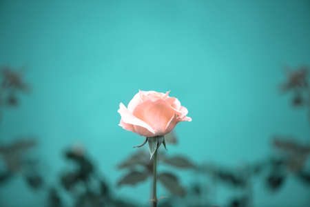 mammy: beautiful romantic pink rose flower on toned green blur background, vintage style