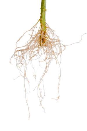 raices de plantas: raíces de las plantas de tomate se aísla en el fondo blanco