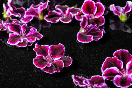 claret: beautiful composition of dark purple geranium flower with dew in water, Royal Pelargonium, closeup