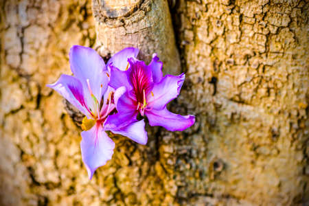 orchid tree: beautiful blooming purple Bauhinia purpurea or Orchid Tree on wood,  closeup