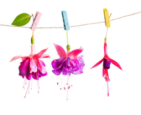 flores fucsia: beautiful hybrid of fuchsia flowers handing on rope with colorful clothespin is isolated on white background, close up Foto de archivo