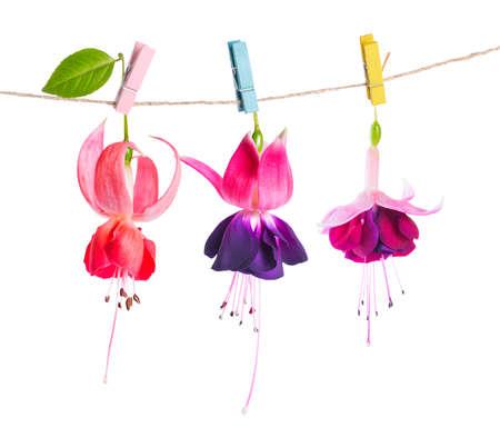 flores fucsia: hermosa flores fucsia entrega en cuerda con pinza de la ropa de colores está aislado en el fondo blanco, de cerca Foto de archivo