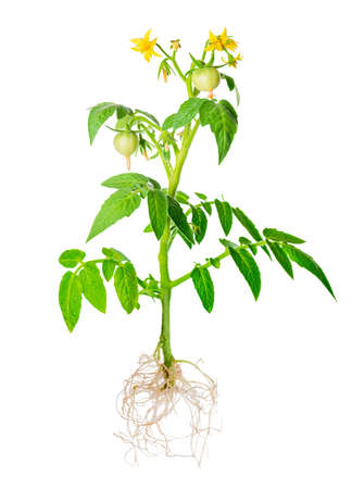 bloeiende jonge zaailing van verse groene tomaten fruit met zichtbare wortels is geïsoleerd op een witte achtergrond, close-up Stockfoto