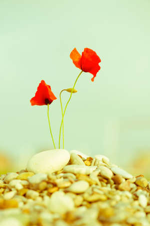 red pebble: beautiful blooming red poppy flower on pebble Stock Photo