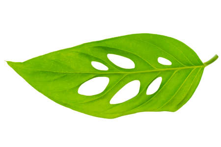 broad leaf: beautiful unusual green monstera (var. expilata) leaf is isolated on white background, close up Stock Photo