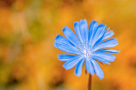 chicory flower: beautiful wild plant blue chicory flower on orange fantastic background, close up Stock Photo