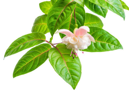 blooming beautiful branch in shades of white and gentle pink fuchsia flower with leaves is isolated on background, `Margarita`